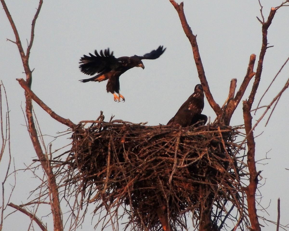 Fledging the nest.<br /> <br /> Photo © David McLain
