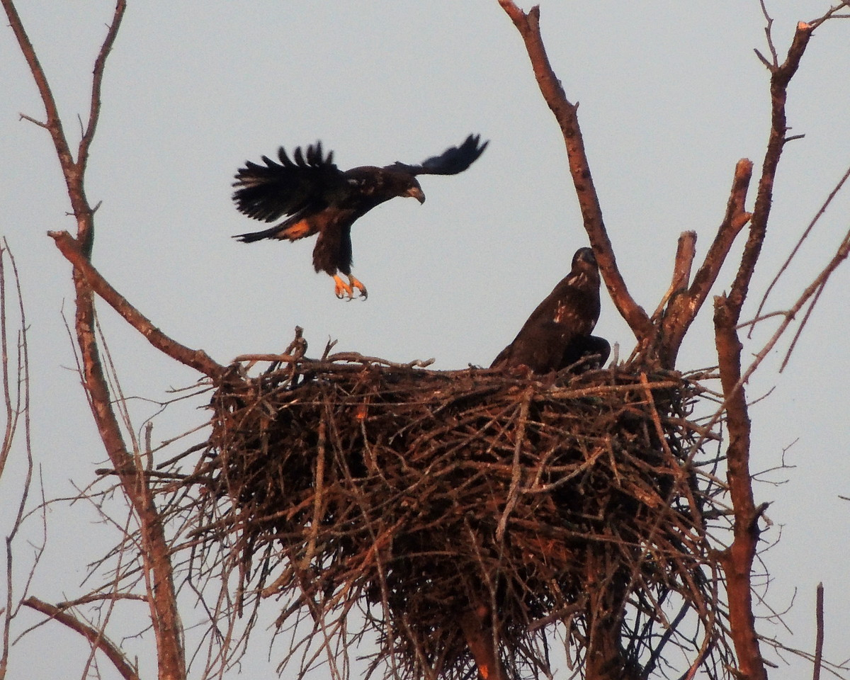 Fledging the nest.<br /> <br /> Photo © David McLain