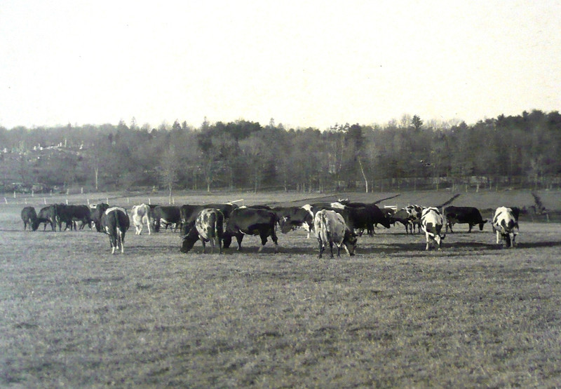 1900: Cattle grazing on the grounds behind the hospital buildings. <em>Courtesy of the State Library of Massachusetts Special Collections Department.</em>