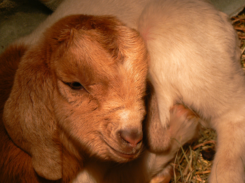 And just when winter gets really cold at the end of February the first kids (baby goats) were born.