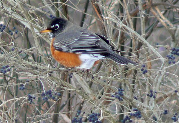 Crisp winter days made for great photo opportunities. This Robin really stood out against the gray branches.