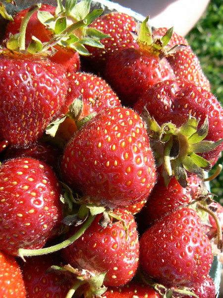 Yummm! Fresh strawberries straight from the field.
