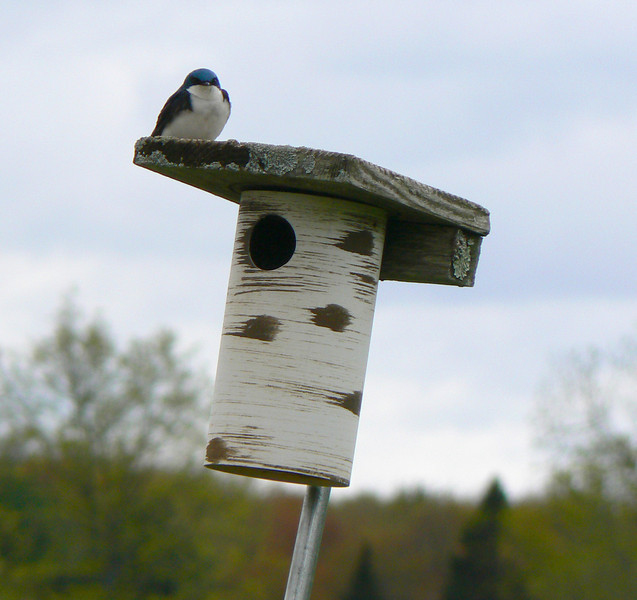 The cavity nesters, (tree swallows and bluebirds) made good use of the bird boxes. It was a good year for the bluebirds, but the tree swallows were not as successful this year.