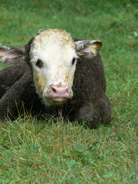 Awww, so cute! The first calf of the year was born in September.