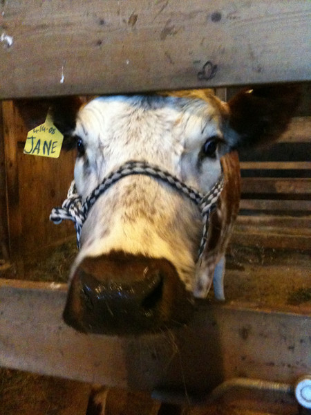 We welcomed Jane the cow to the farm in January.