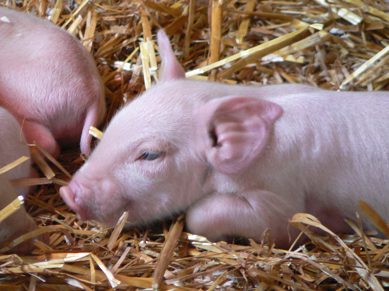 April's piglet's were mighty cute. Look at those eyelashes!