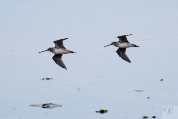 Dowitchers in flight over Joppa Flats - Mike Densmore