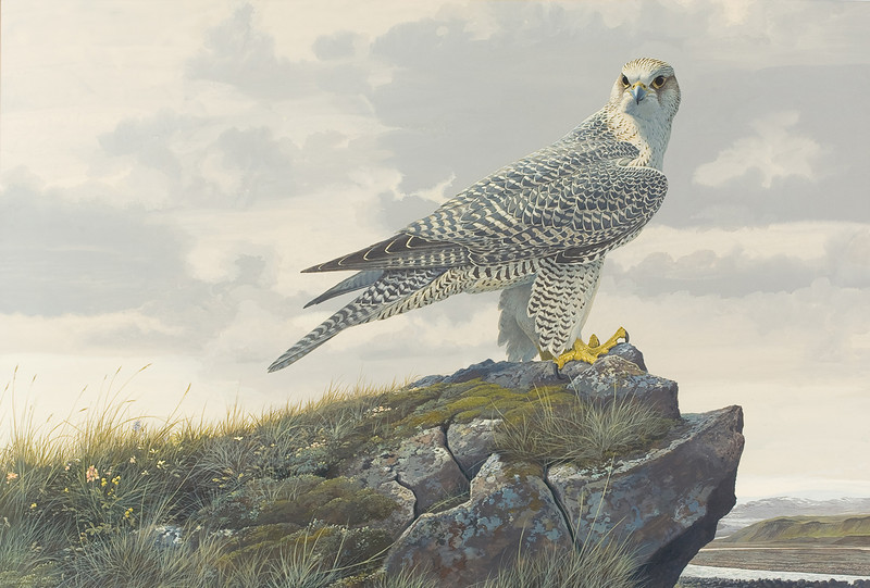 """From the <a href=""""http://www.massaudubon.org/Nature_Connection/Sanctuaries/Visual_Arts/index.php"""">Mass Audubon Art Collection</a>: Robert Verity Clem, <i>Gyrfalcon—Iceland, 1966"""