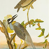 """From the <a href=""""http://www.massaudubon.org/Nature_Connection/Sanctuaries/Visual_Arts/index.php"""">Mass Audubon Art Collection</a>: John James Audubon, <em>Yellow-crowned Night Heron</em>, 1860"""