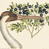 """From the <a href=""""http://www.massaudubon.org/Nature_Connection/Sanctuaries/Visual_Arts/index.php"""">Mass Audubon Art Collection</a>: Mark Catesby, <em>Hooping Crane</em>"""