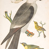 """From the <a href=""""http://www.massaudubon.org/Nature_Connection/Sanctuaries/Visual_Arts/index.php"""">Mass Audubon Art Collection</a>: Alexander Wilson, <i>Mississippi Kite, 1811"""
