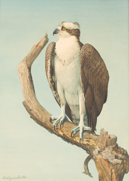"From the <a href=""http://www.massaudubon.org/Nature_Connection/Sanctuaries/Visual_Arts/index.php"">Mass Audubon Art Collection</a>: Louis Agassiz Fuertes, <i>Osprey"