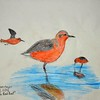 B95 Rufa Red Knot