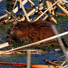 Muskrat at Broadmoor in Natick