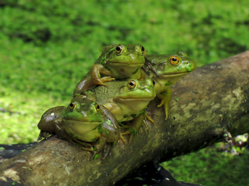 American bullfrogs at Broad Meadow Brook in Worcester