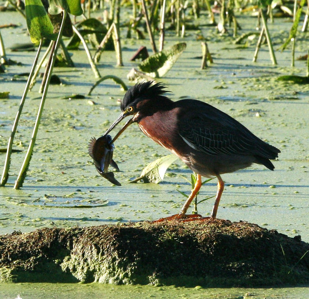 Green heron at Stony Brook in Norfolk
