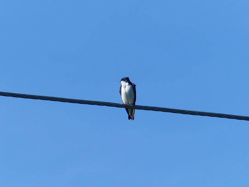 ...tree swallows...