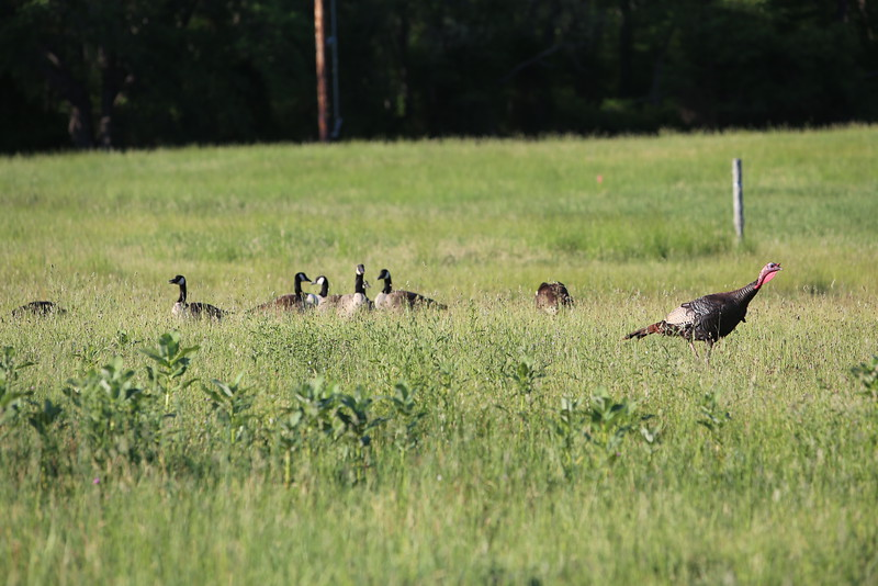 ...and of course, plenty of geese and turkeys.