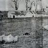 Herding Sheep at Wachusett Meadow Farm
