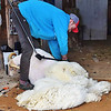 Why Are Sheep Sheared?