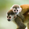 The Central American squirrel monkey weighs up to about 1 kg (2.2 lb). It is found in primary and secondary forests and cultivated areas. Disturbed habitats are advantageous because of their greater supply of preferred food - insects (such as grasshoppers) and fruit. The Central American squirrel monkey is arboreal and diurnal. It rarely travels on the ground and is most active in the morning and late afternoon.<br /> <br /> Central American squirrel monkeys have large group sizes (40 - 70 individuals) in continuous forest. They are non-aggressive and egalitarian - neither males nor females appear to be dominant. Females are usually the ones who disperse to another troop.<br /> <br /> The Central American squirrel monkey has always been restricted to the Pacific lowlands of Costa Rica and Panama. By 1983, the Central American squirrel monkey had already declined drastically due to clearing of forests. Currently, deforestation and habitat fragmentation due to agriculture and tourism development are the major causes of decline. Insecticide spraying, the pet trade and electrocution from electric power lines have also adversely affected these squirrel monkeys. or more than a decade, it was thought to have become extinct in Panama until a small population was discovered in 1996. They are also known as red backed squirrel monkeys and mono titis. They are common in Manuel Antonio National Park; however, the species is quickly becoming extinct.