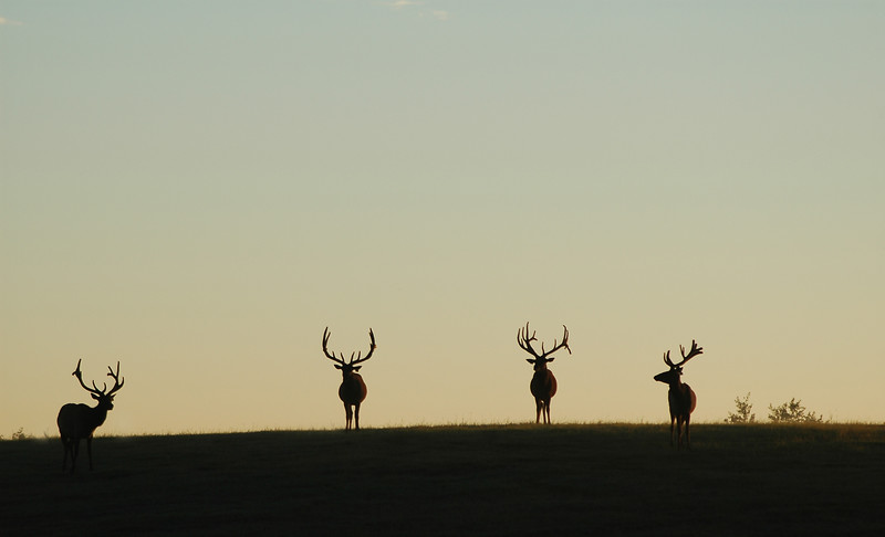 Wapiti elk silhouettes four elk Rocky Mountain landscape mountains scenic landscape - Photograph by professional nature stock photographer Christina Craft