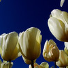 Tulips - looking up with wide angle camera