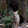 Coyote<br /> <br /> Wildlife photography - Pictures of Animals - by professional wildlife photographer Christina Craft