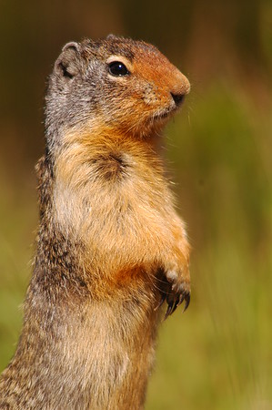 Stock Photos of Columbian Ground Squirrels