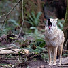 Coyote yawning - shot horizontally with enough room for text <br /> Wildlife photography - Pictures of Animals - by professional wildlife photographer Christina Craft
