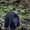 Black bear at the shoreline hunting for crabs