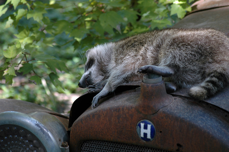 Raccoon sleeping on an antique rusted car - Nature Stock Image by Professional Nature Photographer Christina Craft