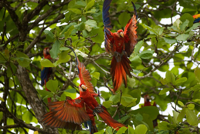 The Scarlet Macaw (Ara macao) is a large, colourful parrot.  It is native to humid evergreen forests in the American tropics, from extreme eastern Mexico locally to Amazonian Peru and Brazil, in lowlands up to 500 meters (at least formerly up to 1000m). It has been widely extirpated by habitat destruction and capture for the pet trade. Formerly it ranged north to southern Tamaulipas. It can still be found on the island of Coiba.  It is about 81 to 96 cm (32 to 36 inches) long, of which more than half is the pointed, graduated tail typical of macaws. Average weight is about a kilogram (2 to 2.5 pounds). The plumage is mostly scarlet, but the rump and tail-covert feathers are light blue, the greater upperwing coverts are yellow, the upper sides of the flight feathers of the wings are dark blue as are the ends of the tail feathers, and the undersides of the wing and tail flight feathers are dark red with metallic gold iridescence. There is bare white skin around the eye and from there to the bill. The upper mandible is mostly pale horn in color and the lower is black. Sexes are alike; the only difference between ages is that young birds have dark eyes, and adults have light yellow eyes.  Scarlet Macaws make loud, low-pitched, throaty squawks and screams.  Wild Scarlet Macaws eat mostly fruits and seeds, including large, hard seeds. A typical sighting is of a single bird or a pair flying above the forest canopy, though in some areas flocks can be seen. They may gather at clay licks.