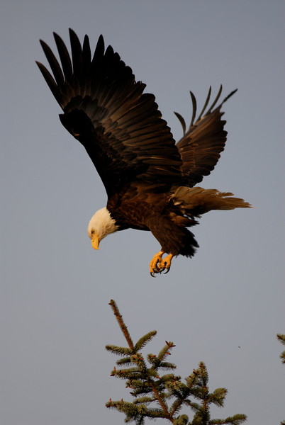 The majestic bald eagle in flight