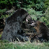 Grizzly bear fight <br /> Professional Wildlife Photography by Christina Craft of the Nature Stock Photography Library
