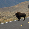 Bison intimidating drivers on a roadway - Yellowstone National Park.
