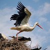 Stork poised to fly