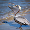 Brown Pelican on the beach