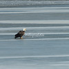 Bald Eagle on the ice, Mississippi River, Illinois, USA