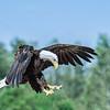A Bald Eagle landing