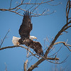 Bald Eagle takes flight from a tree along the Mississippi River, Illinois, USA