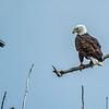 A Bald Eagle and a Crow