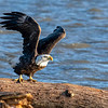 A Bald Eagle takes to the sky from a log on the Mississippi, Illinois, US