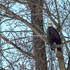 A Bald Eagle perched in a tree along the Mississippi River, Illinois, USA