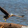 A Bald Eagle takes to the sky from a log on the Mississippi, Illinois, USA