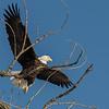 A Bald Eagle along the Mississippi River, Illinois, USA