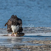 A Bald Eagle eating a fish on the shore of the Mississippi, Illinois, USA