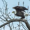 Bald Eagle in a tree along the Mississippi River, Illinois, USA