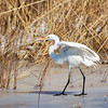 Great white egret on frozen pond