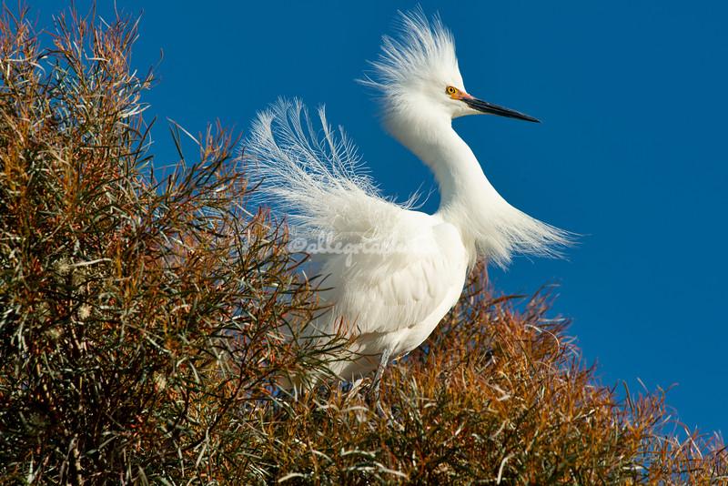 Mating snowy egret